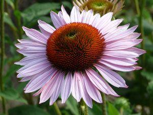 Echinacea purpurea 'Hope' ® - Rosa Sonnenhut