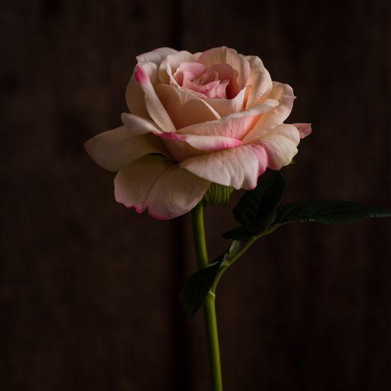 ROSE BLUSH - FLOWERS - WYLD HOME - 1