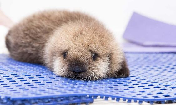 Orphaned baby otter rescued from California coast – in pictures | World news | The Guardian