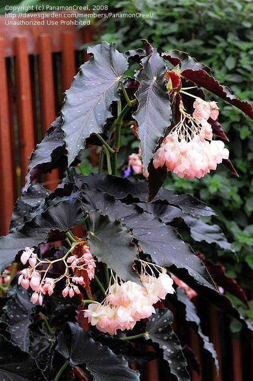 Angel Wing Begonia 'Good 'n Plenty'/ATTRACTS: Hummingbirds.:
