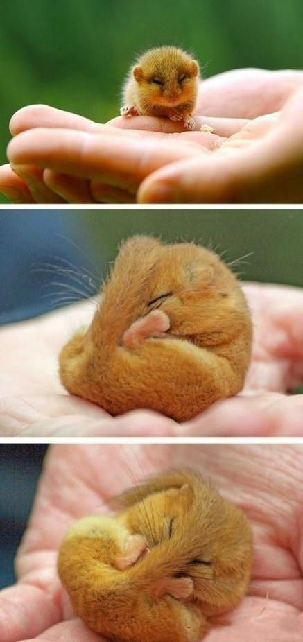 Muscardinus avellanarius, or called the Hazel Dormouse, is decreasing in population. It is a European Protected Species and is protected in the UK under the Wildlife and Countryside Act