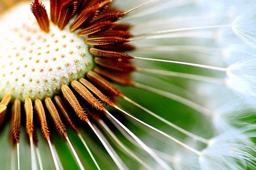 Dandelion seeding macro by tibchris, via Flickr
