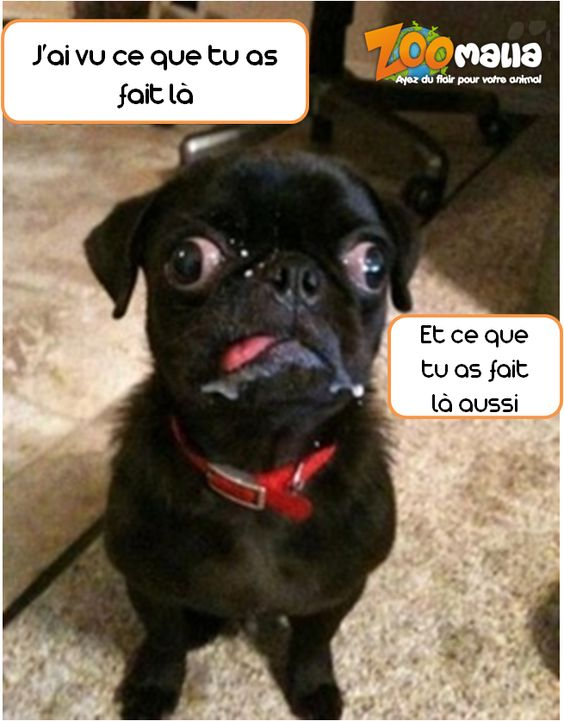 #carlin #dog #chien #humour #picoftheday