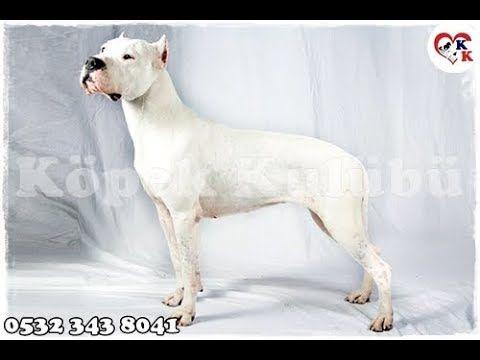 Dogo Argentino Yavru Satilik Dogo Argentino Yavrulari Dogs Animals Pitbulls