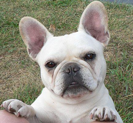 Clarise Cream French Bulldog Frenchie Pinterest