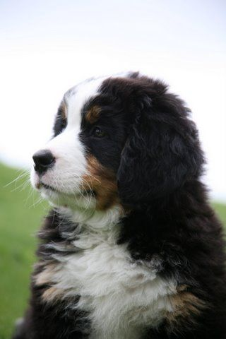 I love our Berner- he looks kind of like this, but he has less white on his face- they are awesome dogs, but so are Golden Retrievers- my other dog!! Heck I love ALL dogs- next one is going to be a pitbull rescue!!!