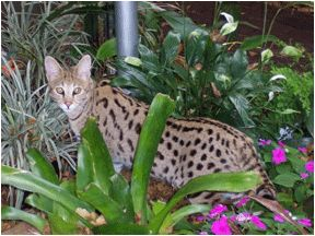 Further encouragedby visits with leading geneticists atUC Davis and Cornell,Dale's plan for mating the large African Serval withthe much smaller domestic catis set into motion