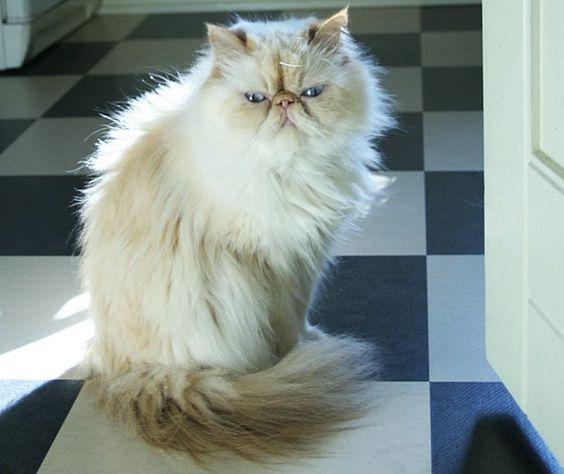gato himalayo peke face