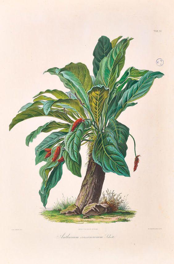 Icones Aroidearum, -  1857 -  - Biodiversity Heritage Library