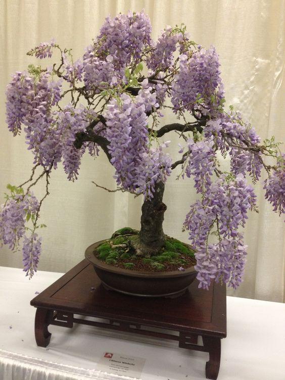 Chinese wisteria bonsai san francisco flower and garden show garden inspirations pinterest for San francisco flower and garden show