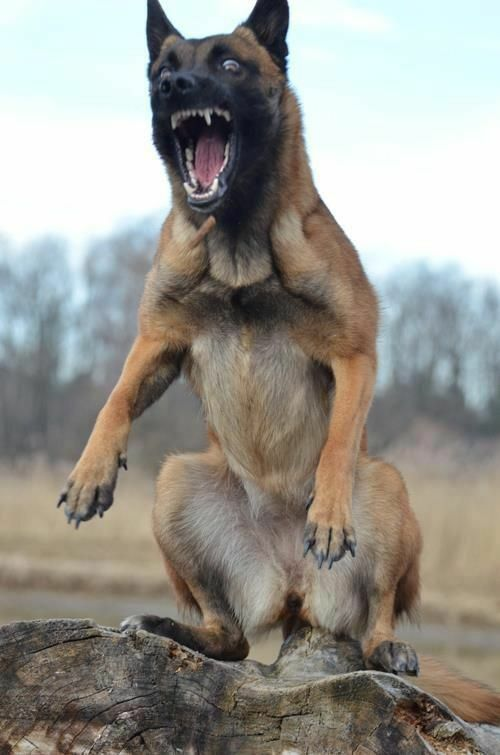 Belgian Malinois Navy Seal : belgian, malinois, Cairo, Belgian, Malinois, Training, Fearless, Glossy, Photo, Training,
