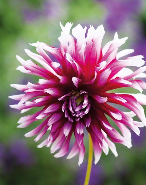 History Of The Dahlia Sarah Raven Dahlia Beautiful Flowers Types Of Flowers