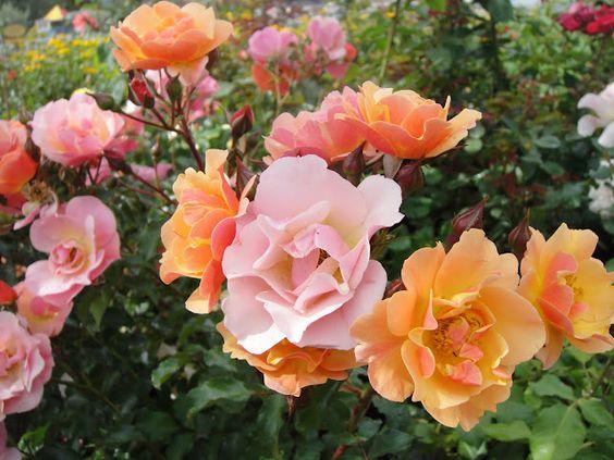 Pretty blooms - Joseph's Coat rose (?)