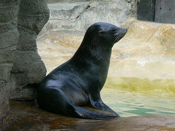 El lobo marino de dos pelos. - Uruguay