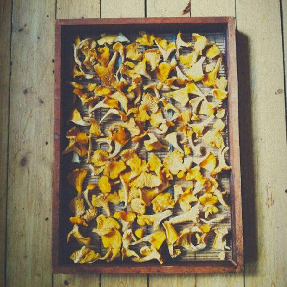 Drying Summer Chanterelle Mushrooms.  Photo by jmfrischknecht • Instagram