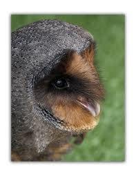 Black Barn Owl