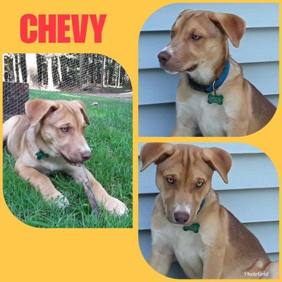 Adopt Chevy Puppy On Puppies Pets Australian Shepherd