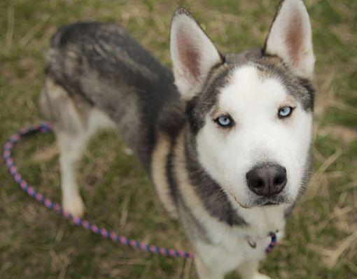 Harvard Il Siberian Husky Meet Arrow And Alpha A Pet For