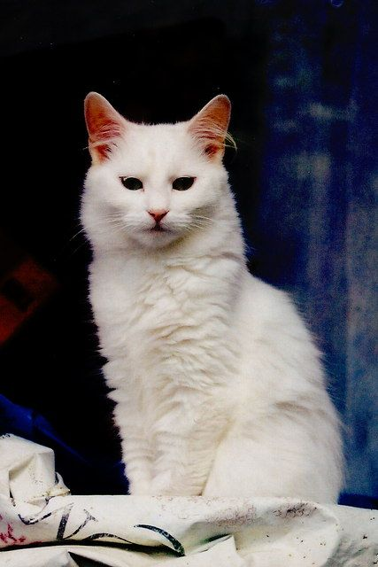 Manx cat | Top 15 most #Cutest #cat #breeds