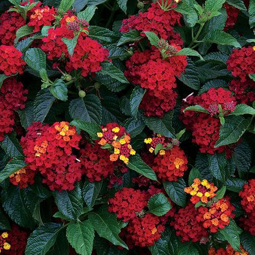 87982 Pk 3 Jpg Hydroponic Gardening Edible Garden Lantana