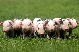 Bildergebnis für piglets