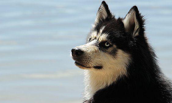 Husky Dog Dog Breed Animal Sled Dog Training Your Dog Dogs