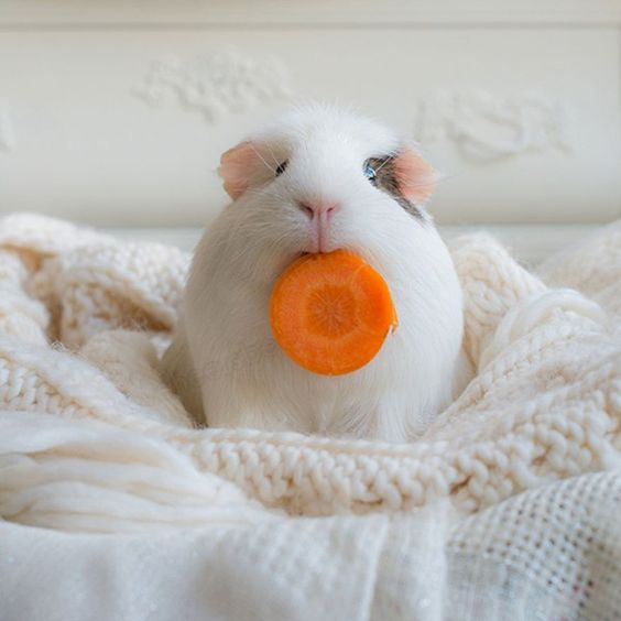 The Most Adorable Guinea Pigs over the Internet: Booboo and His Friends