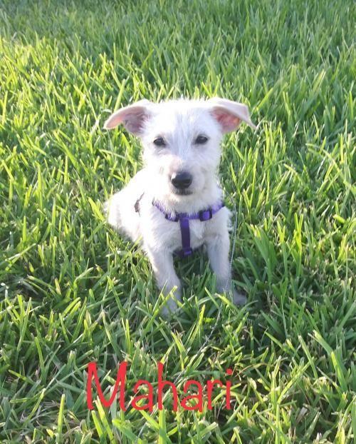 Adopt Mahari On Dog Adoption Dog Rocks Puppy Adoption