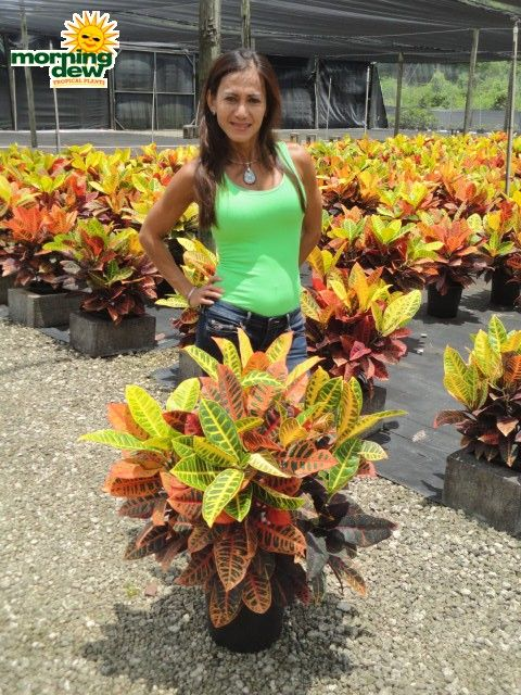 Croton Petra C Guide To Summer Annuals With Topiarius