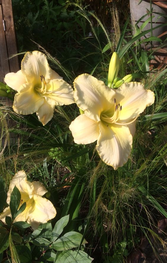 Day lilies and Stipa tennuisima trial combination, I like it!