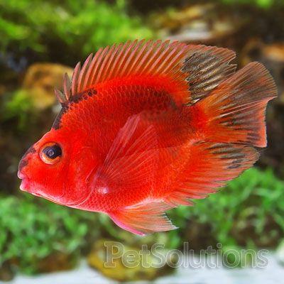 Blood parrots and cichlids on pinterest for Blood parrot fish