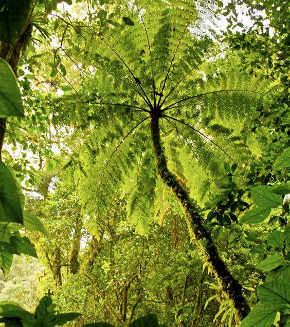 C mo son los helechos arborescentes qu tipos existen for Cuales son los tipos de plantas