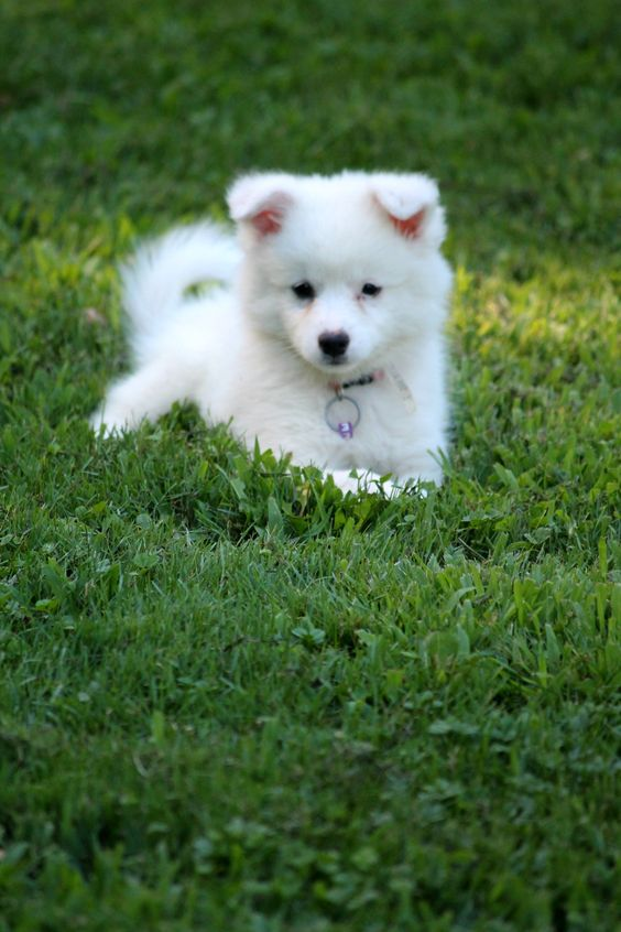 American Eskimo Puppy