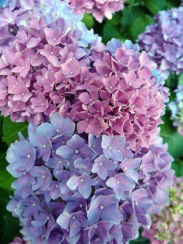 Hortensias púrpuras azules