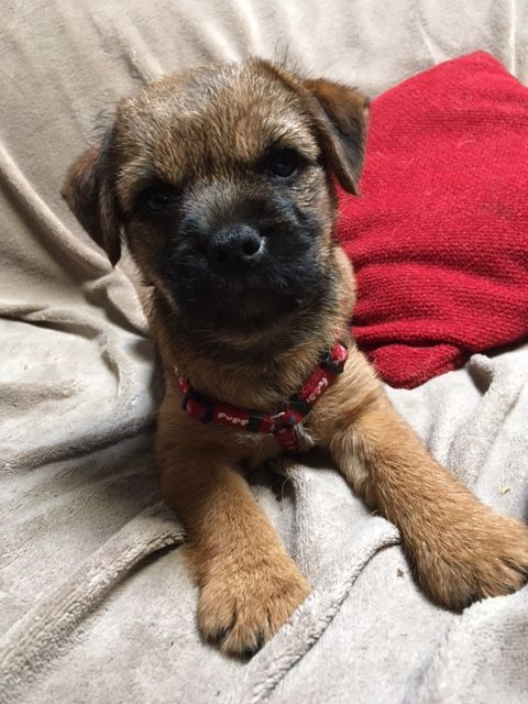 Pin By Melinda Batson On Puppies Border Terrier Brown Dog Dogs
