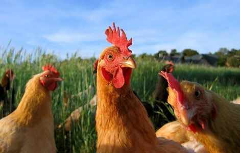 A Laugh from by blogging friend the Idiopt Speakth.  Click on the picture to improve your emotional fitness with a hardy ha ha.: Farm Animals Jpg 470, Chickens Farm, Farm Animals Pictures, Kids Photos, Farm Theme, Animals Photos