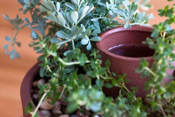 self-watering herb pot