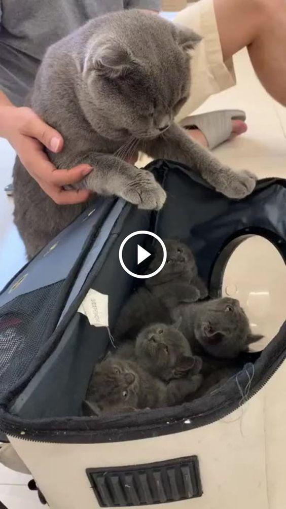 Reação da Mãe gato ao ver seus 7 filhos pela primeira vez