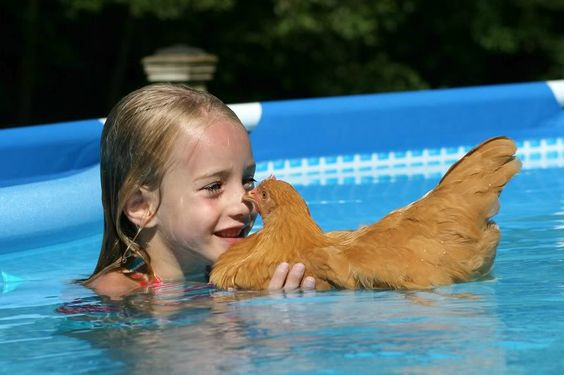 Chicken can swim silly swimming chickens i for Swimming chicken
