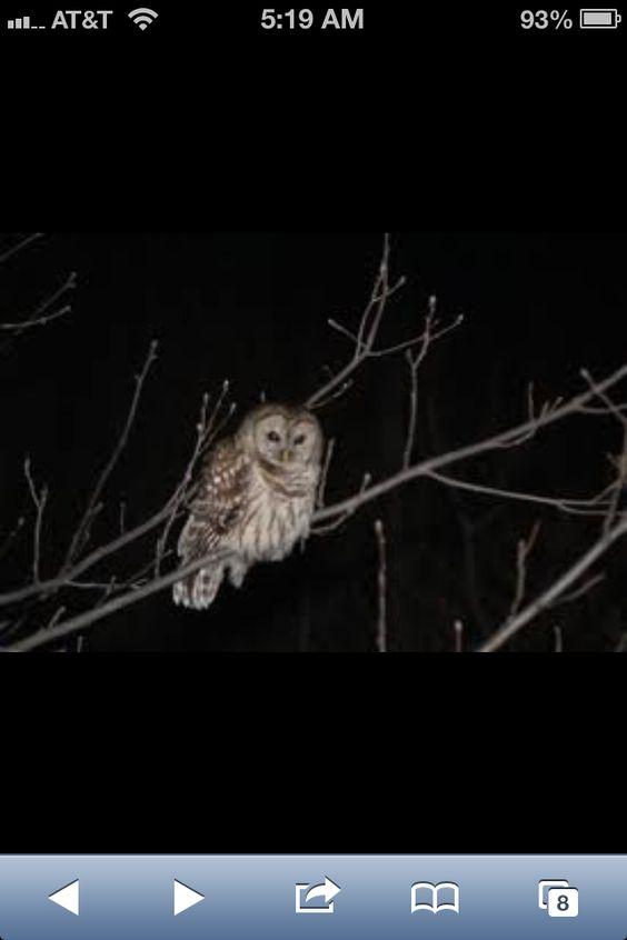 OWLS IN RHODE ISLAND!