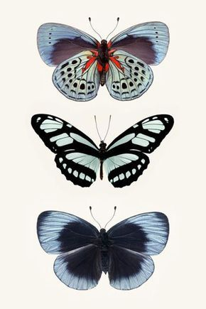 青系の蝶たち