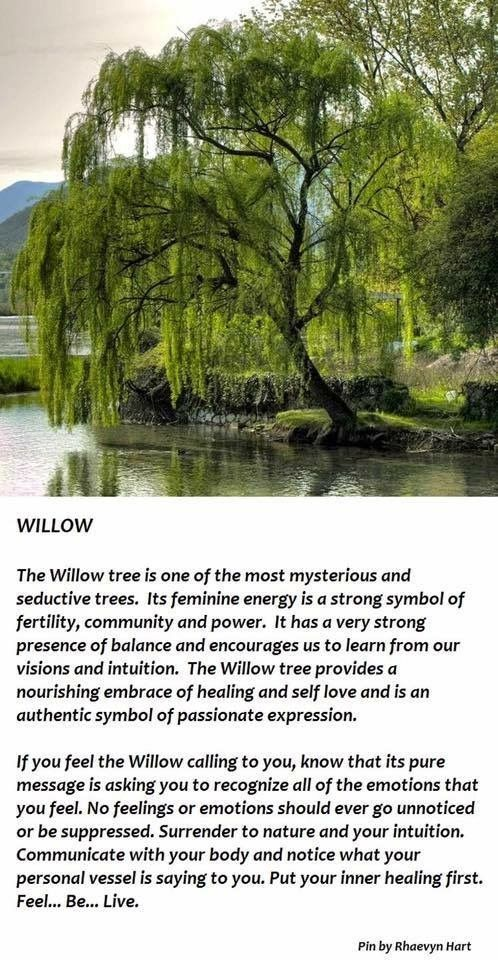 Pictures Of A Weeping Willow Tree
