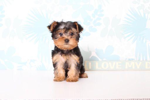 Yorkshire Terrier Puppy For Sale In Naples Fl Adn 69788 On Puppyfinder Com Gender Female Yorkshire Terrier Puppies Yorkshire Terrier Yorkshire Terrier Dog