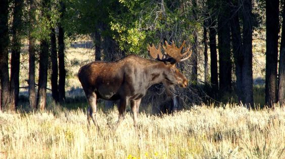 Moose spotted at Gros Ventre Campground - near Jackson Hole Wyoming.