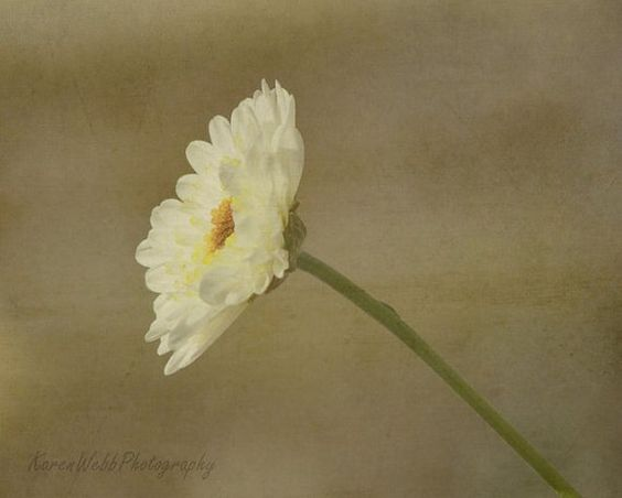 Fine Art Photography One Stem White by KarenWebbPhotography