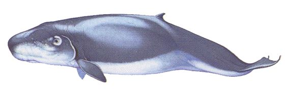 The mysterious Pygmy Sperm whale is almost never seen in the wild, as a result very little is known about it.