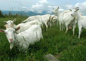 My saanen goats Rosie and petunia and more on the way.