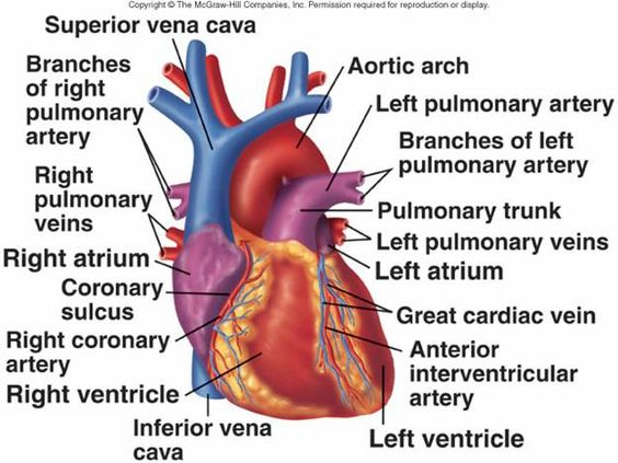 how to clean the heart arteries
