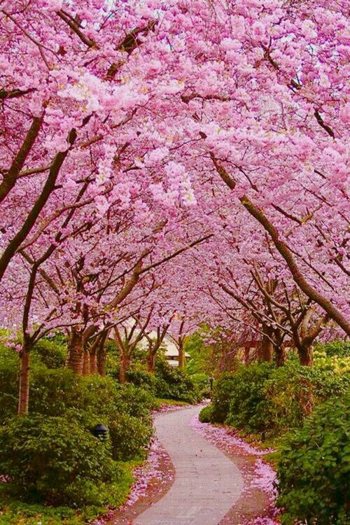 Pin By Lai Heng Leong On Moments Beautiful Gardens Spring Wallpaper Jacaranda Tree