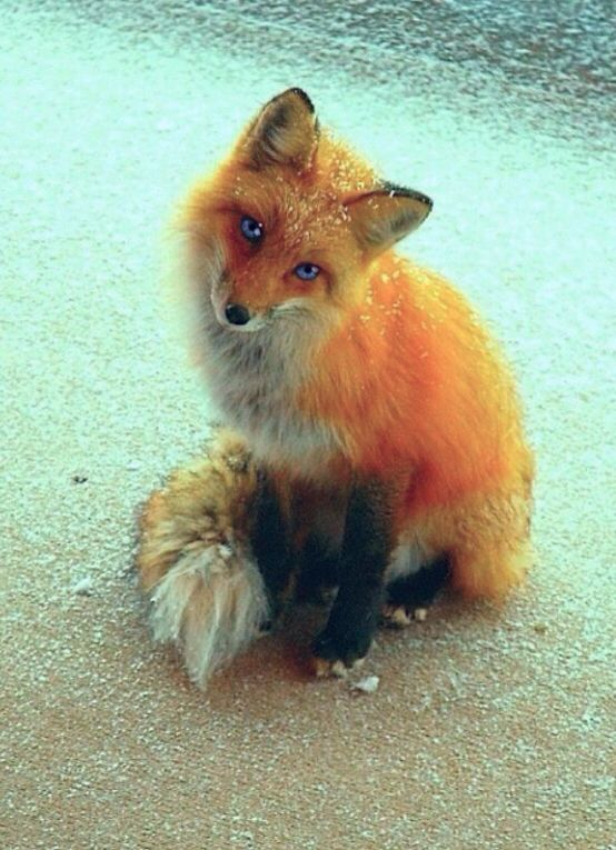 Fox with blue eyes